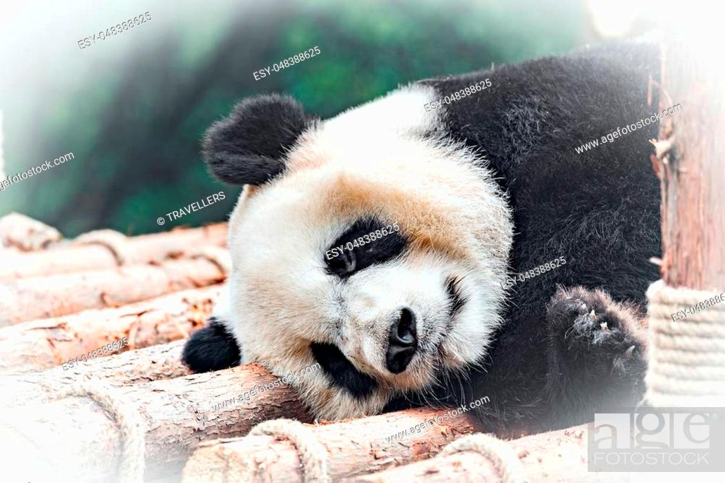 Stock Photo: Image of Giant Panda sleeping in the park.