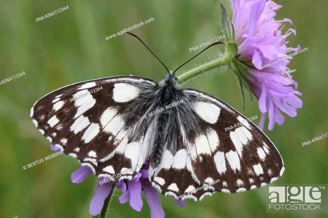 Stock Photo: Marbled White Melanargia galathea - Vnorovy, South Moravia, Jihomoravsky, Czech republic, Europe.