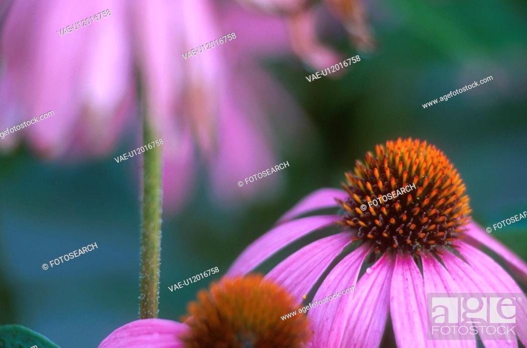 Stock Photo: garden, calf, flower, flora, echinacea, medicinal plant, austria.