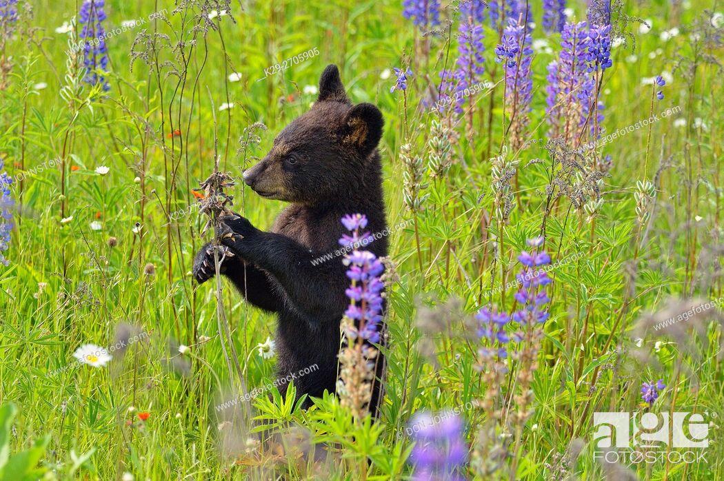 Stock Photo: Black bear (Ursus americanus) Cub standing in flower field, captive raised, Minnesota wildlife Connection, Sandstone, Minnesota, USA.