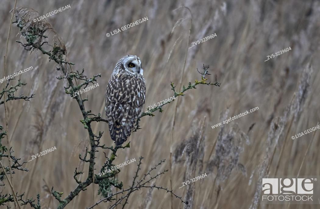 Stock Photo: Short-eared Owl-Asio flammeus. Winter. Uk.