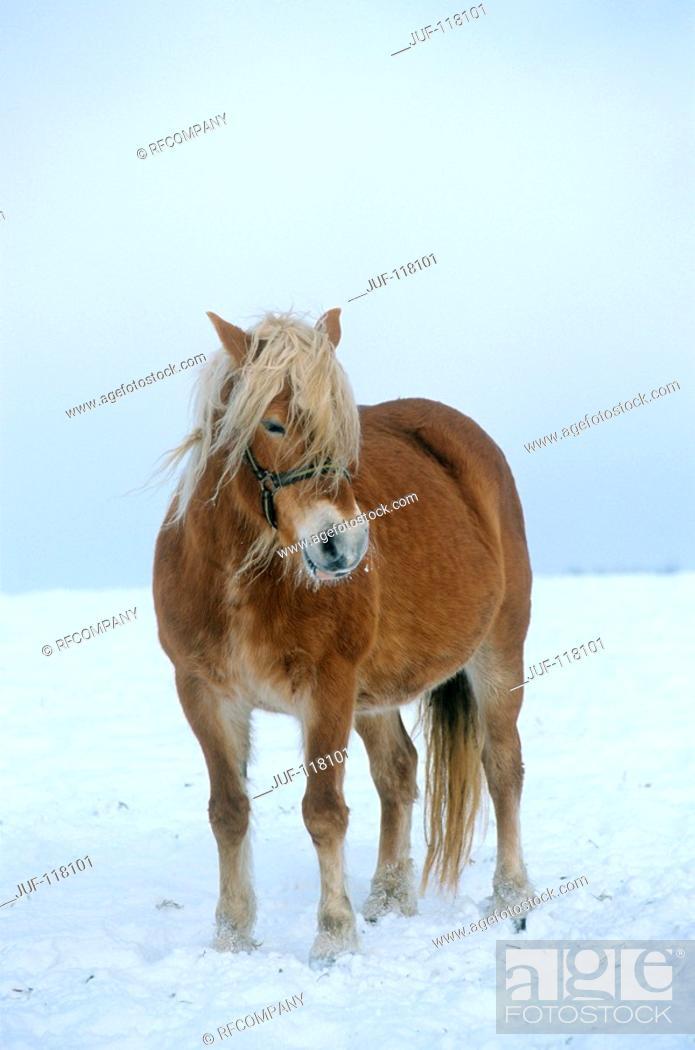 Stock Photo: Haflinger - standing in snow.