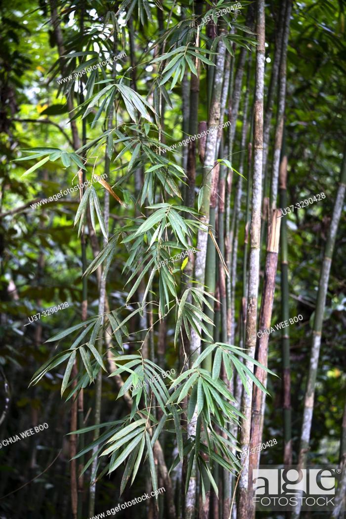 Stock Photo: Bamboos at Kampung Satow, Sarawak, Malaysia.