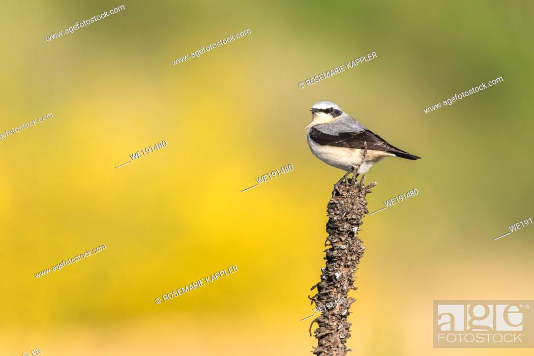 Stock Photo: A common wheatear is searching for fodder.