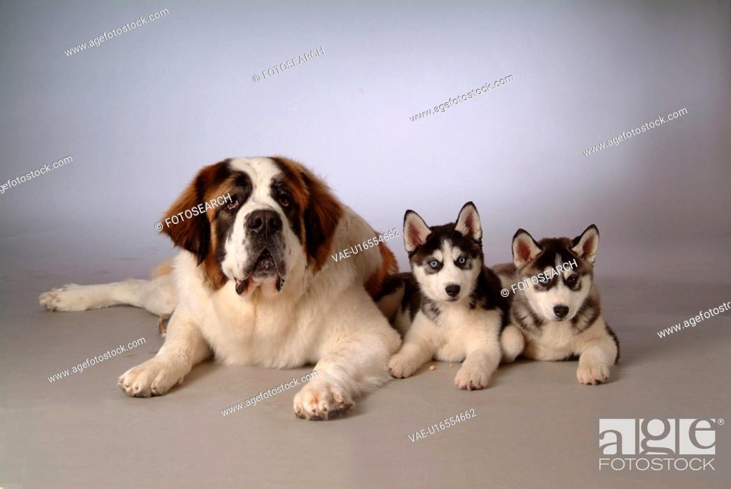 Stock Photo: pose, st bernard, house pet, canines, domestic, saint bernard.