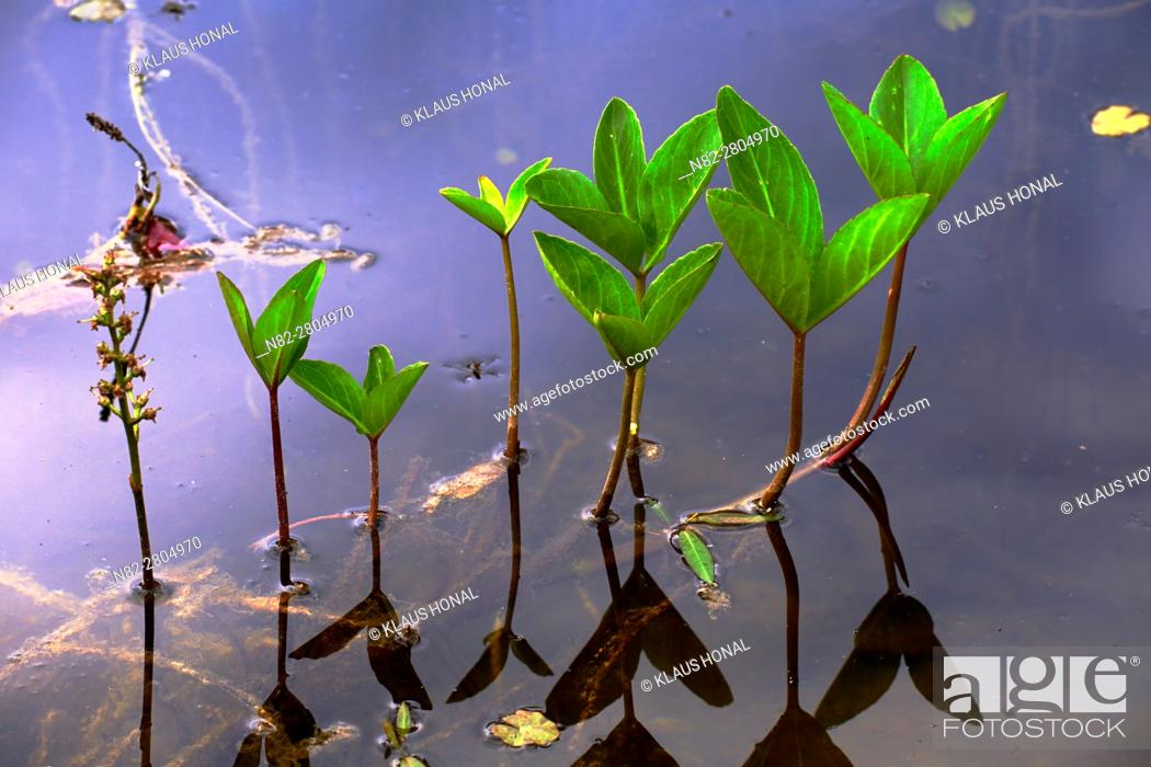 Stock Photo: Stems and petioles of Bogbean or Buckbean plant (Menyanthes trifoliata) are hollow, so the plant gets buoyancy and floats at the swamp habitat - Hesselberg.