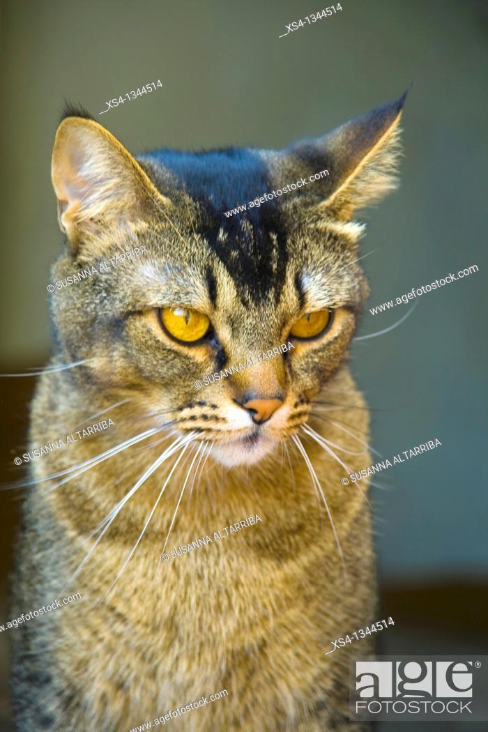 Stock Photo: Feline look. Abyssinian cat. Felis silvestris catus. Domestic cat, housecat.