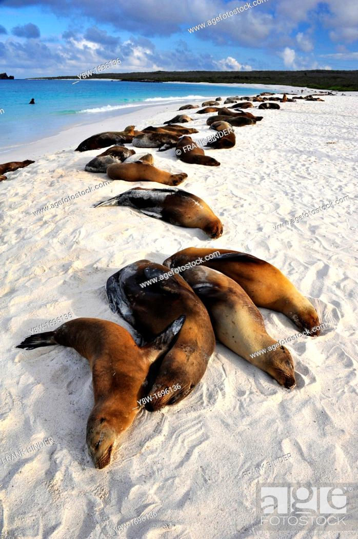 Stock Photo: Sea Lions in the Galapagos Islands, Gardner Bay.