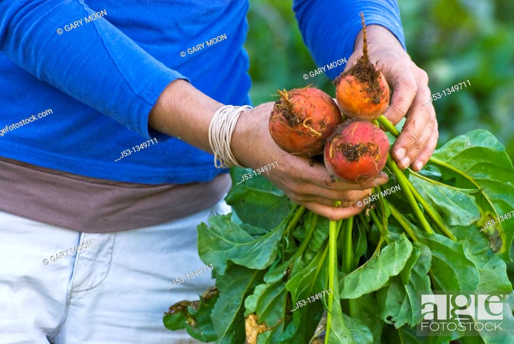 Stock Photo: Woman picking and tying beets on small organic farm, Nevada City, California.