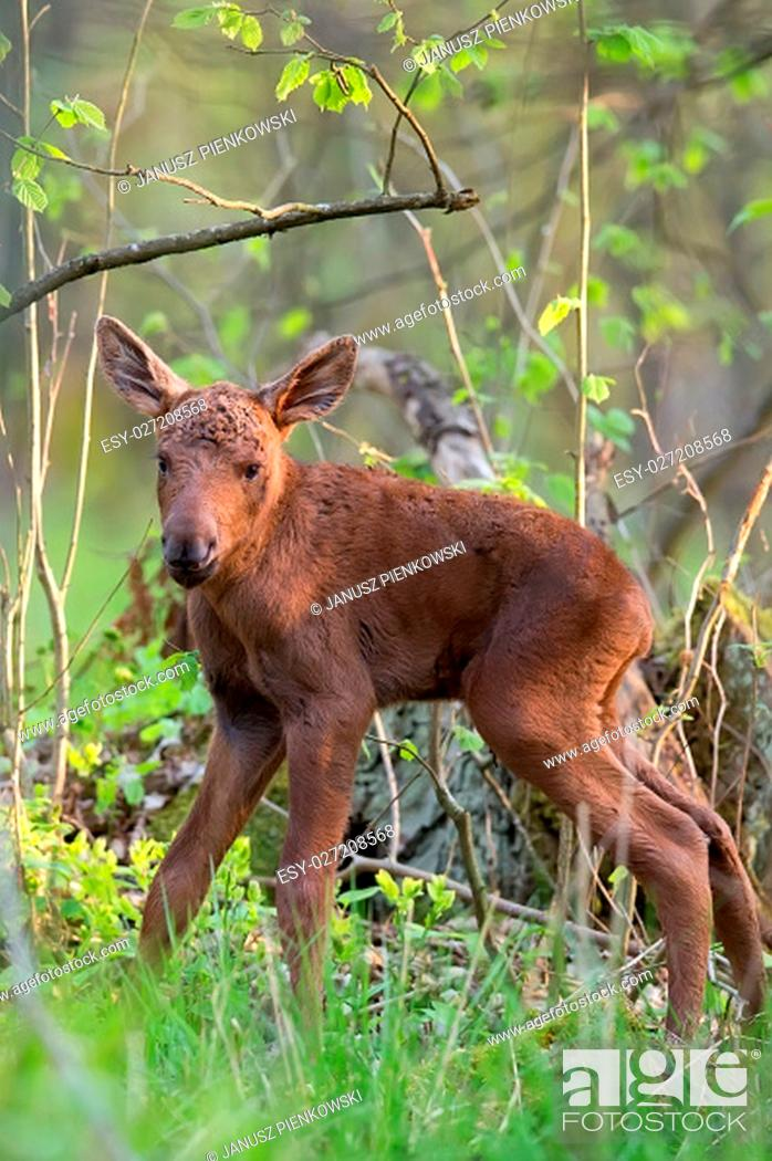 Stock Photo: Young moose in the forest in the wild.