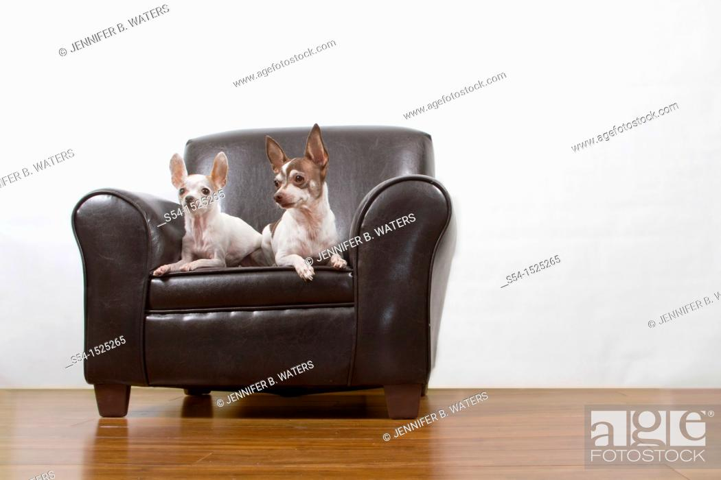 Stock Photo: Two chihuahuas sit on a leather chair indoors.