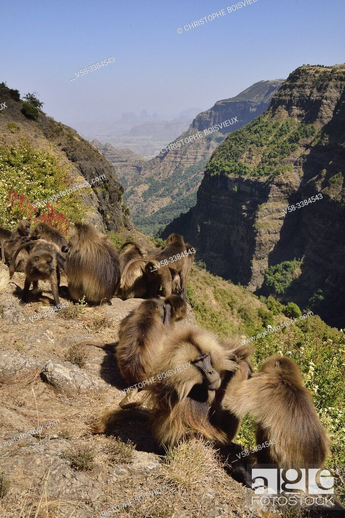 Imagen: Ethiopia, Amhara region, World Heritage Site, Simien Mountains National Park, Gelada baboons delousing eachother.