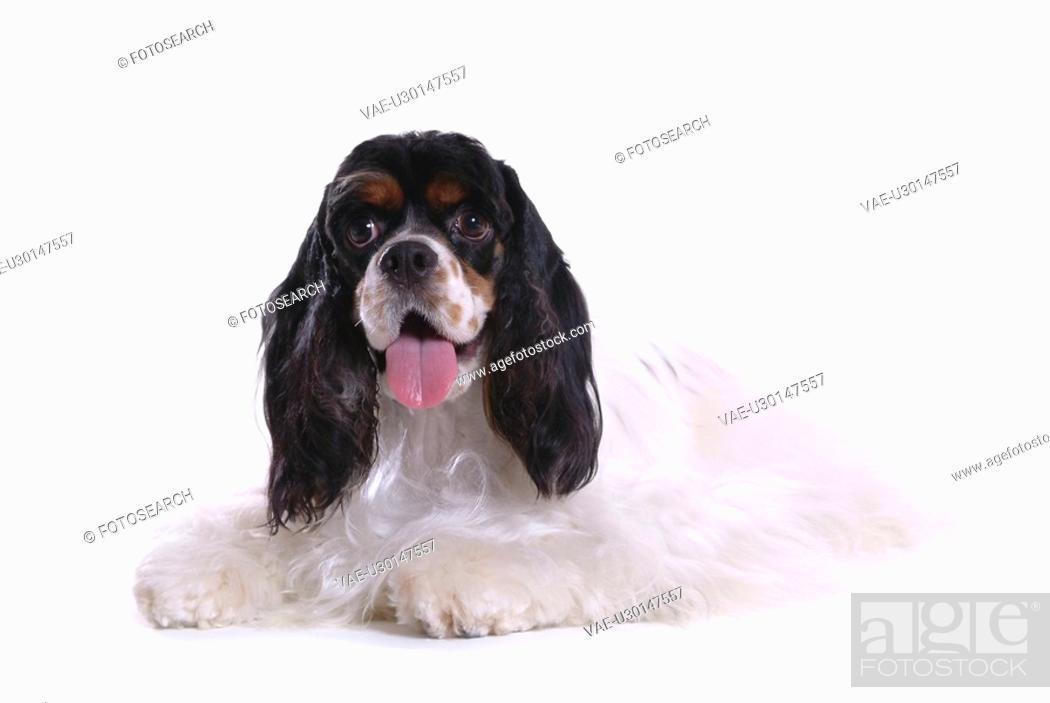 Stock Photo: canines, animal, domestic, cocker spaniel, dog, loving, pet.