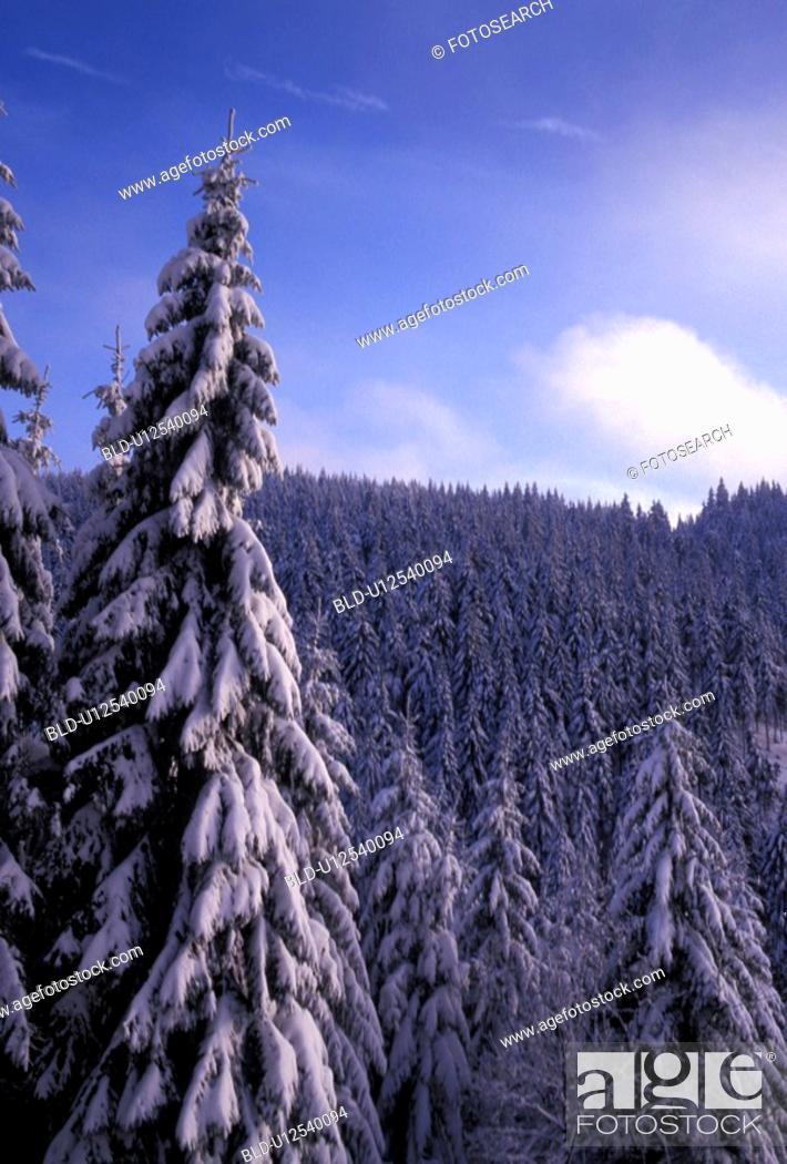 Stock Photo: Forest covered in snow.
