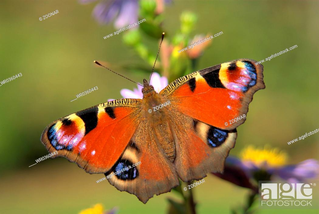 Stock Photo: Tagpfauenauge, Peacock butterfly.