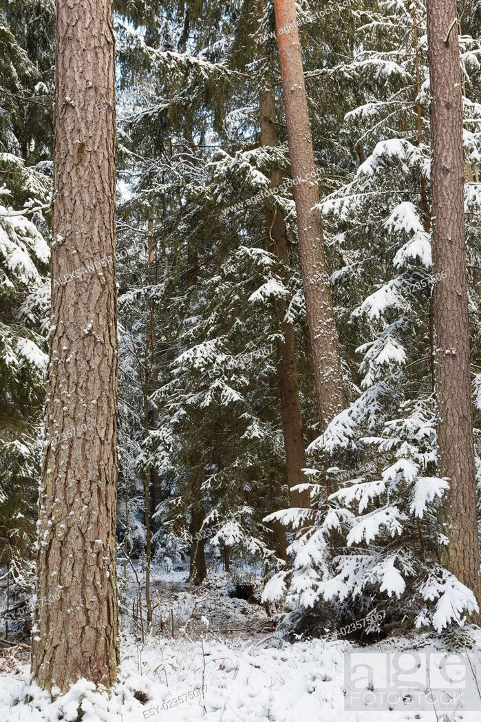 Stock Photo: Winter landscape of natural forest with pine trees trunks and spruces, Bialowieza Forest, Poland.