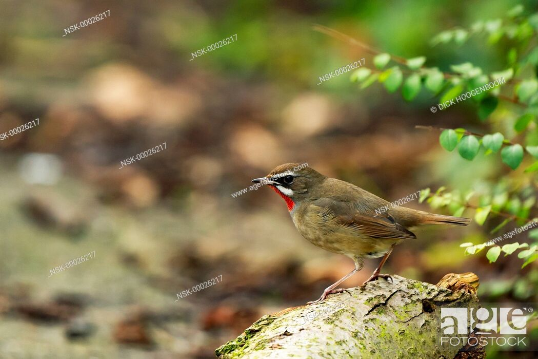 Imagen: Siberian Rubythroat (Luscinia calliope) resting on a branch, The Netherlands, Noord Holland.