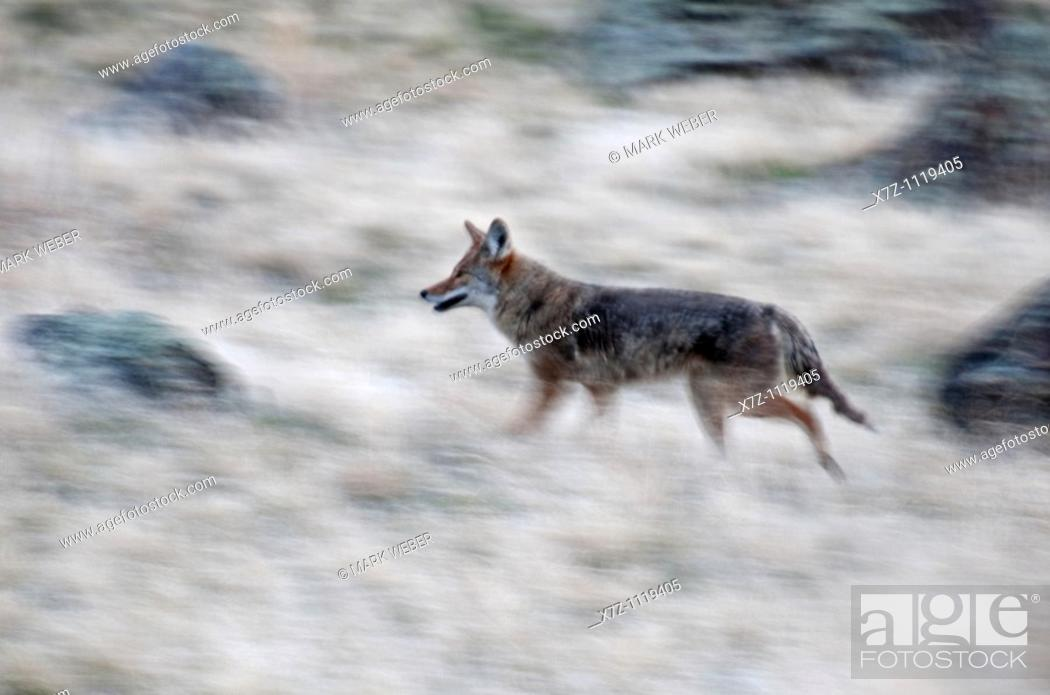 Stock Photo: Snake River Canyon, Coyote on the run in the Snake River Canyon near the city of Twin Falls in southern Idaho.