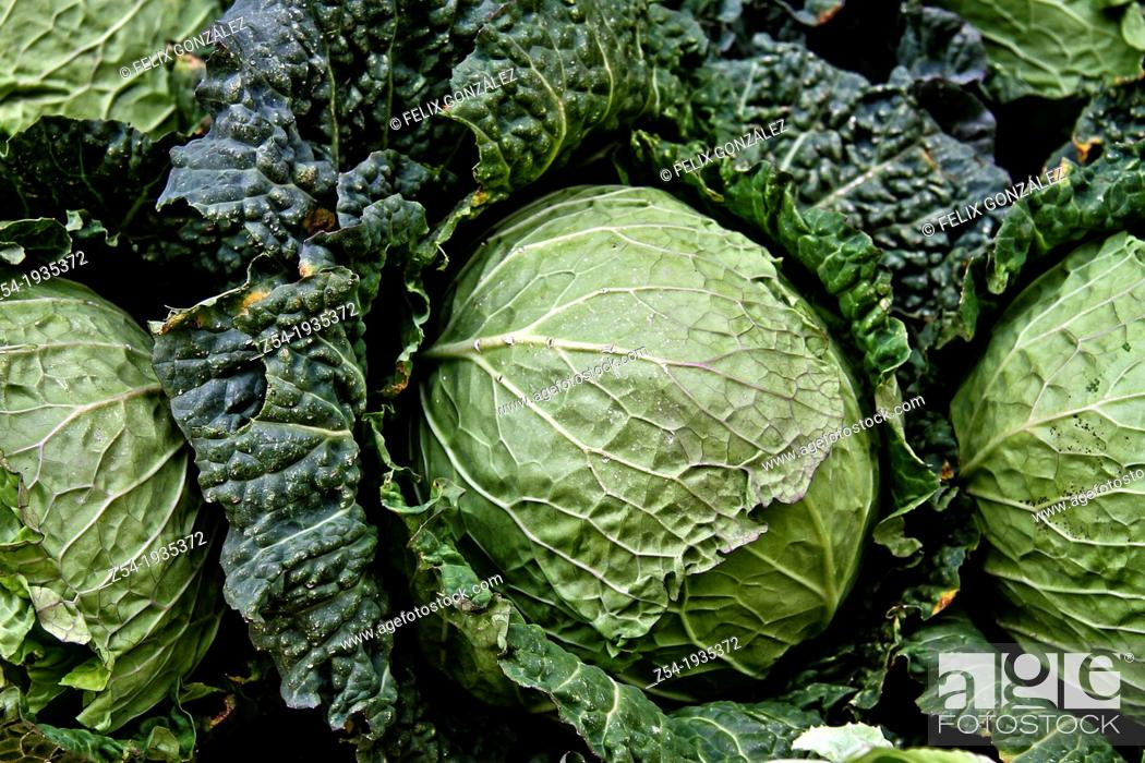 Imagen: Cabbages for sale in a street market, Spain.