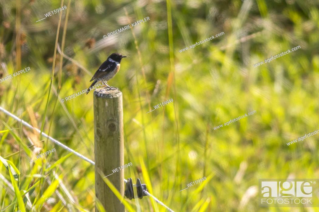 Stock Photo: A stonechat is sitting on his vantage-point.
