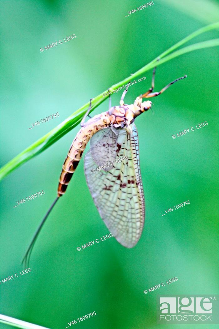Stock Photo: Ephemera vulgata, mayfly.