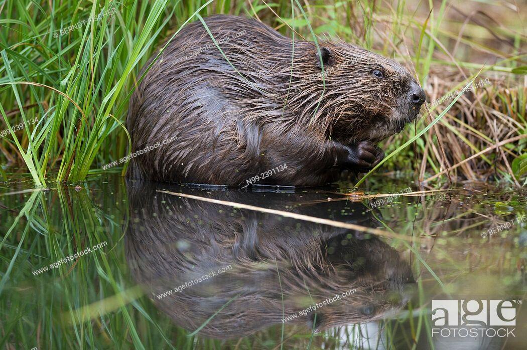 Stock Photo: Beaver (Castor fiber), sitting on a river bank, Bavaria, Germany.
