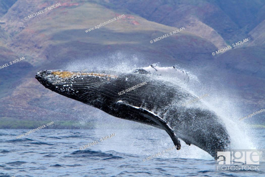 Stock Photo: Adult humpback whale Megaptera novaeangliae breaching in the AuAu Channel between the islands of Maui and Lanai, Hawaii, USA.