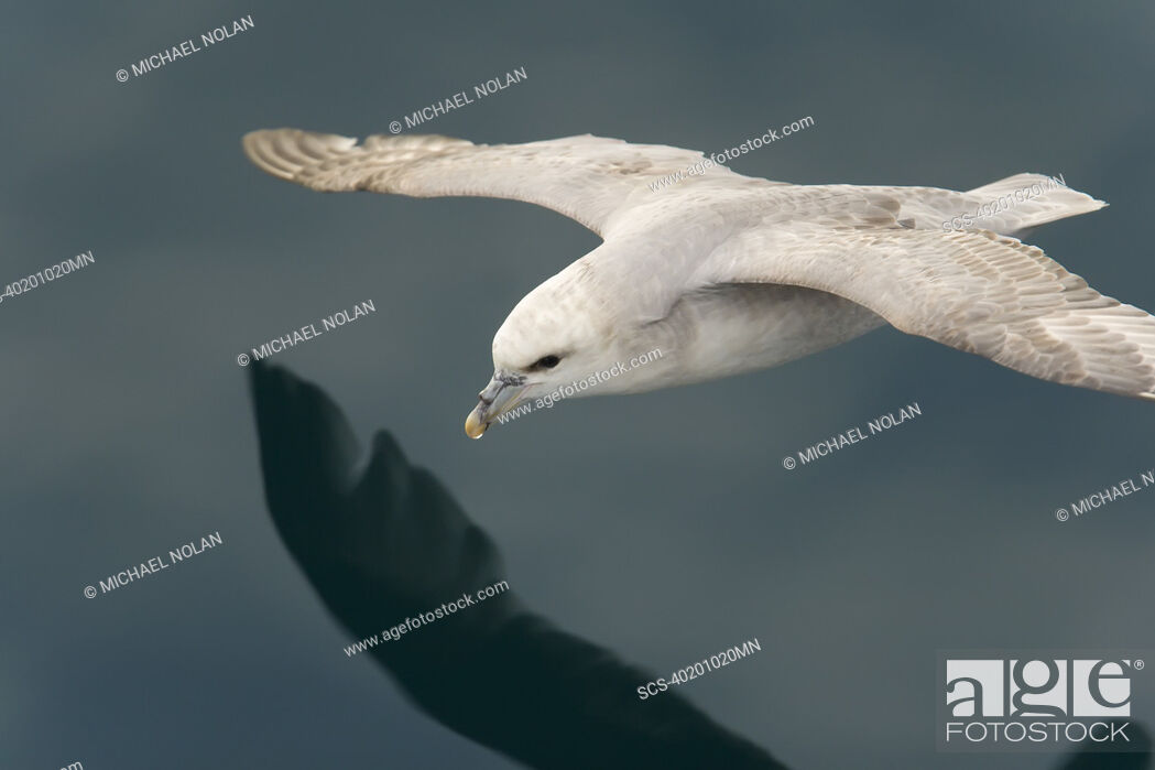 Stock Photo: Northern fulmar Fulmarus glacialis on the wing in the Barents Sea in the Svalbard Archipelago, Norway.