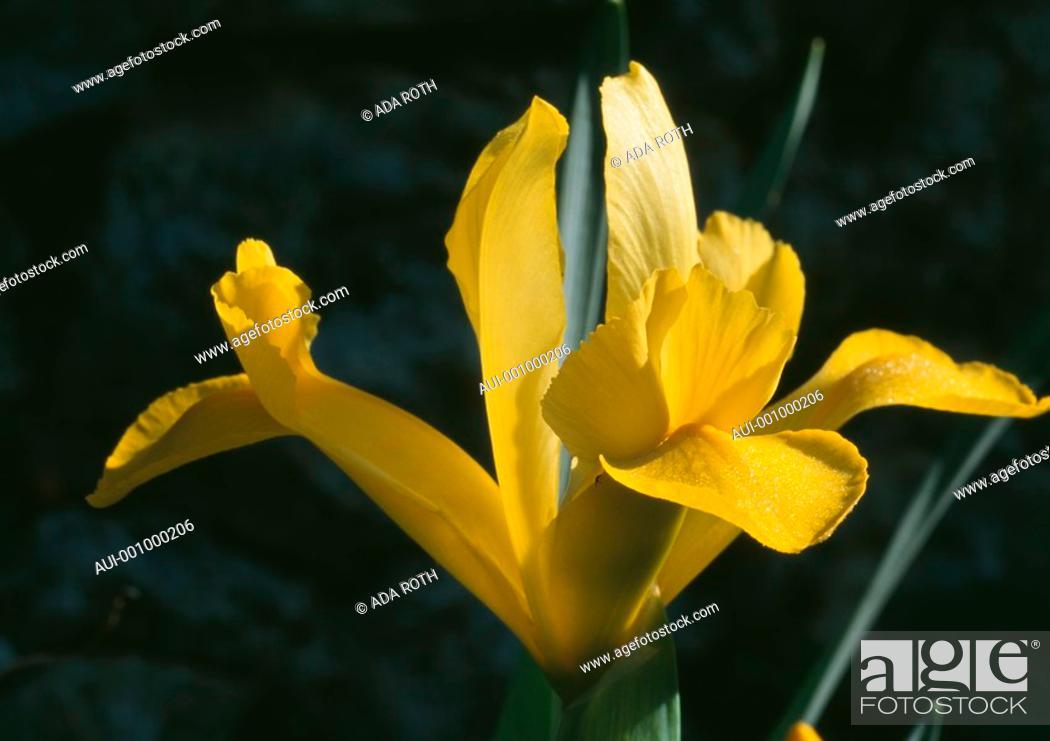 Stock Photo: Iris reticulata - yellow - delicate in early morning sun.