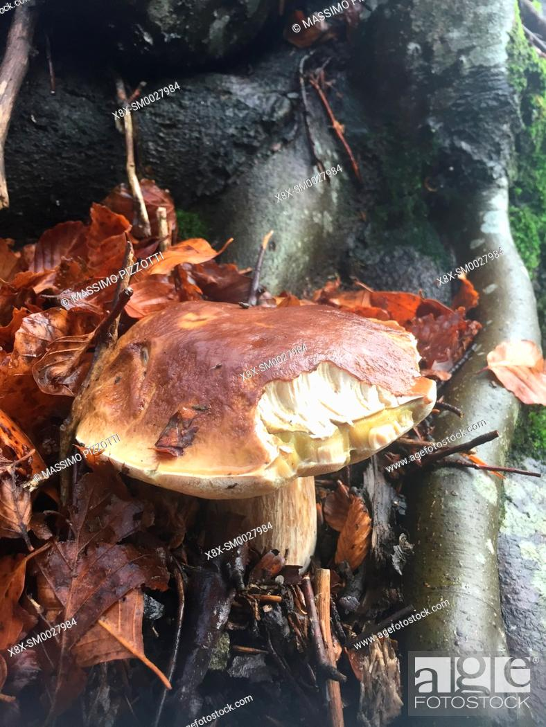 Stock Photo: Boletus Edulis in the forest of the Tuscan-Emilian Apennines, Italy.