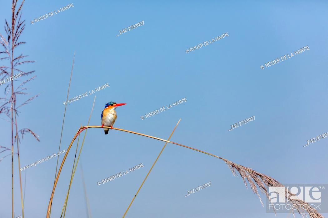 Stock Photo: Malachite kingfisher (Corythornis cristatus. Okavango Delta. Botswana.