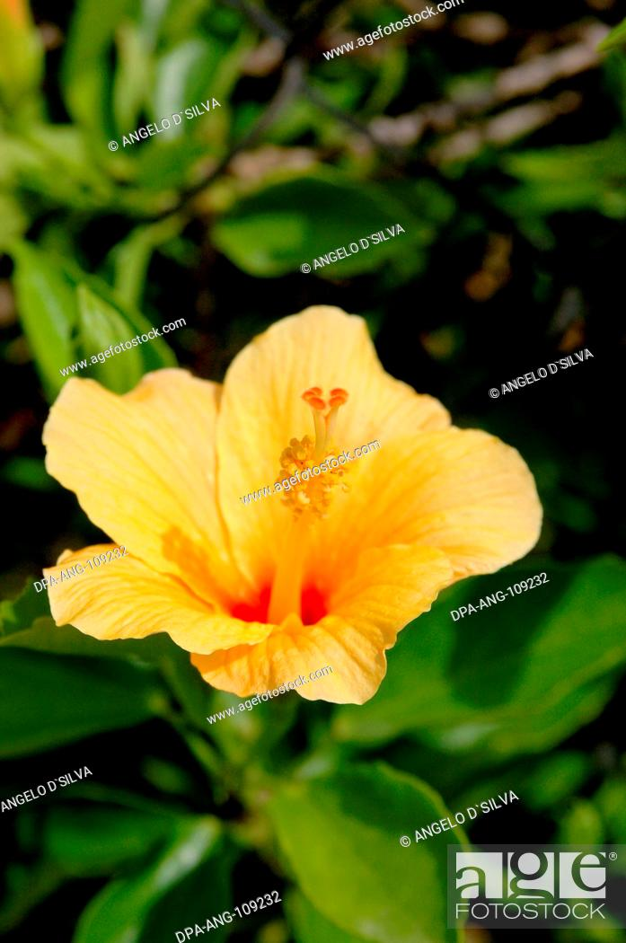 Flower Yellow Jaswand Hibiscus Rosa Sinensis Ayurvedic