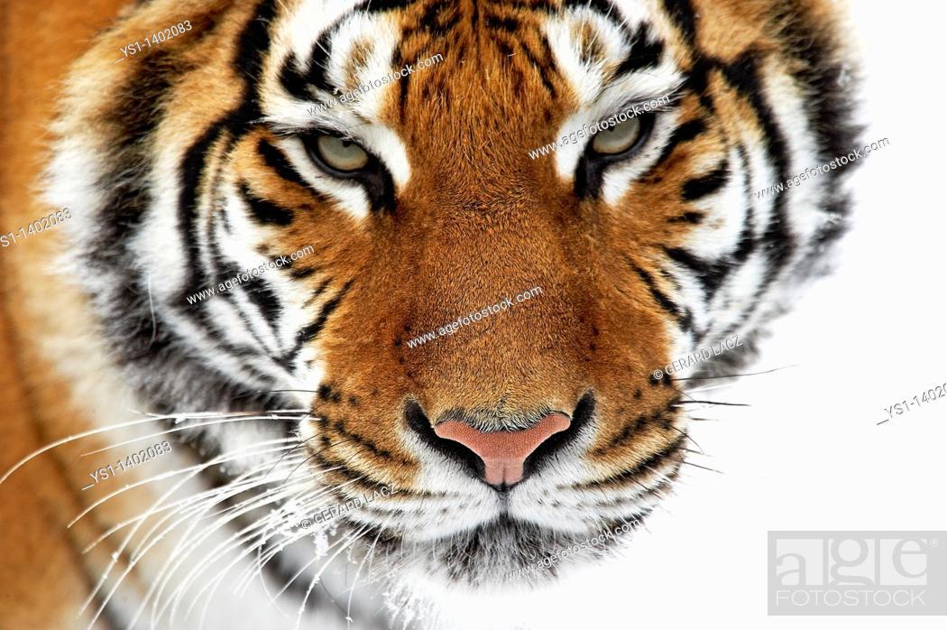 Stock Photo: Siberian Tiger, panthera tigris altaica, Adult standing on Snow.