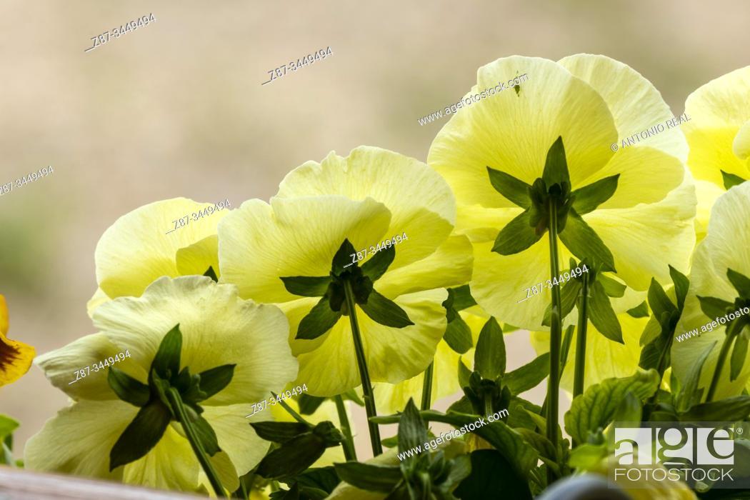 Stock Photo: Flowers. Almansa, Albacete Province, Spain.