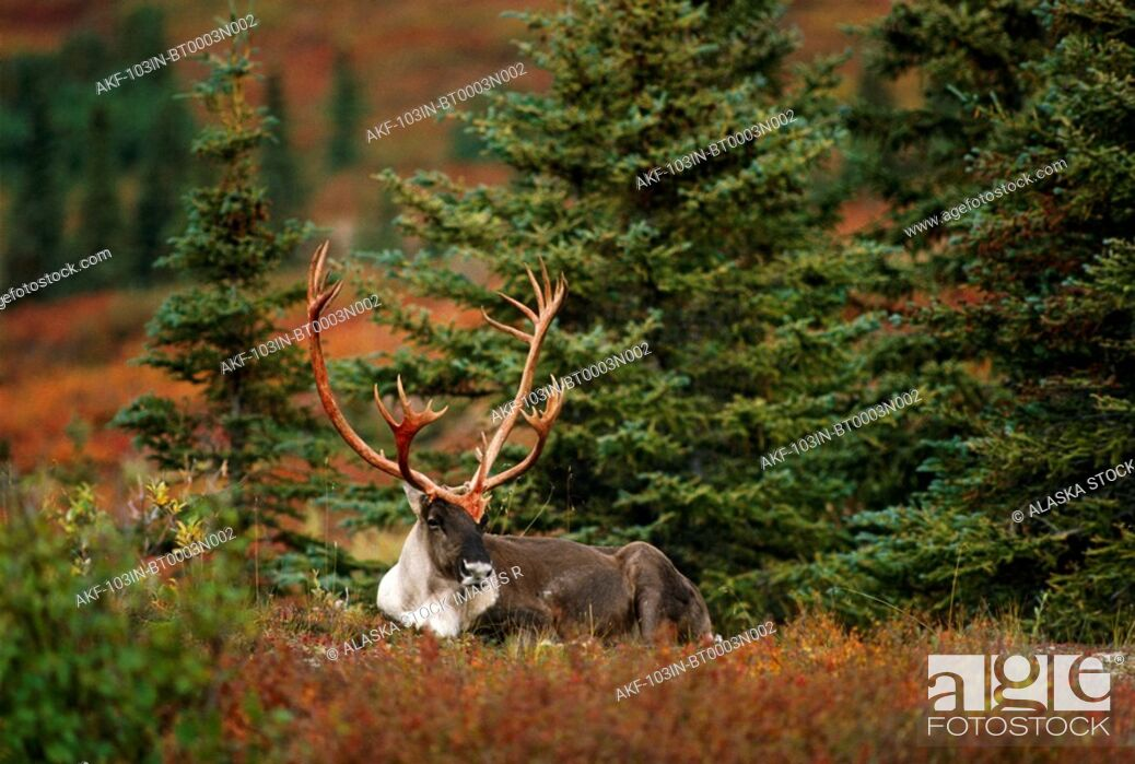 Stock Photo: Adult Caribou Fall Interior Alaska.