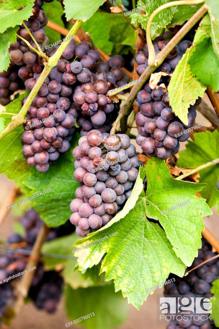Stock Photo: grapevines in vineyard, Czech Republic.
