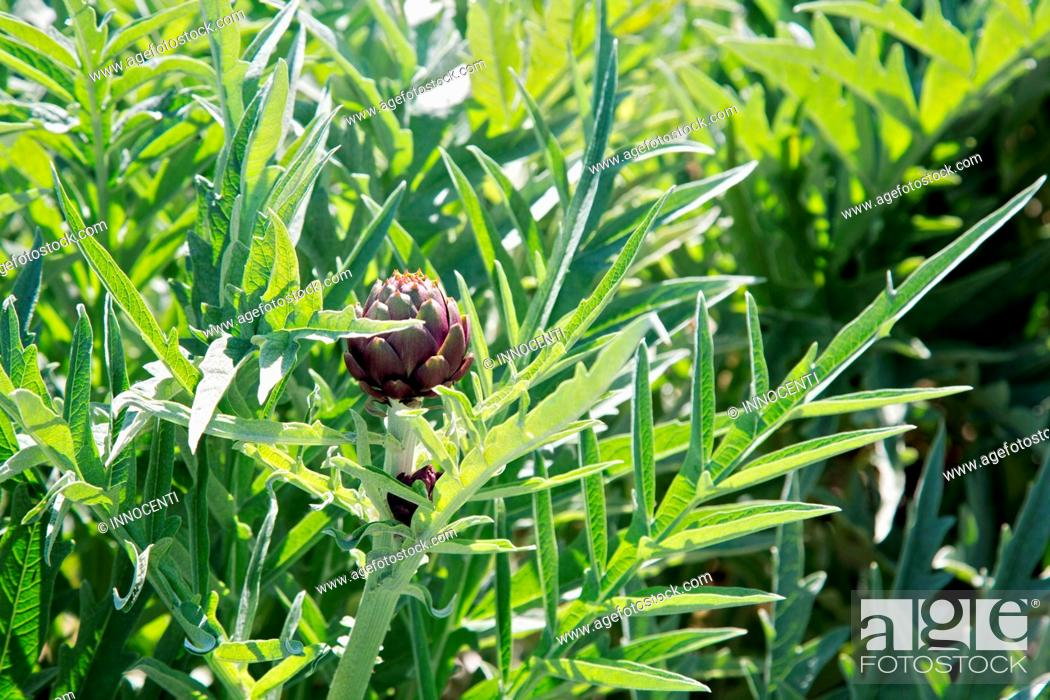Stock Photo: Close up full frame view of purple artichoke plant.