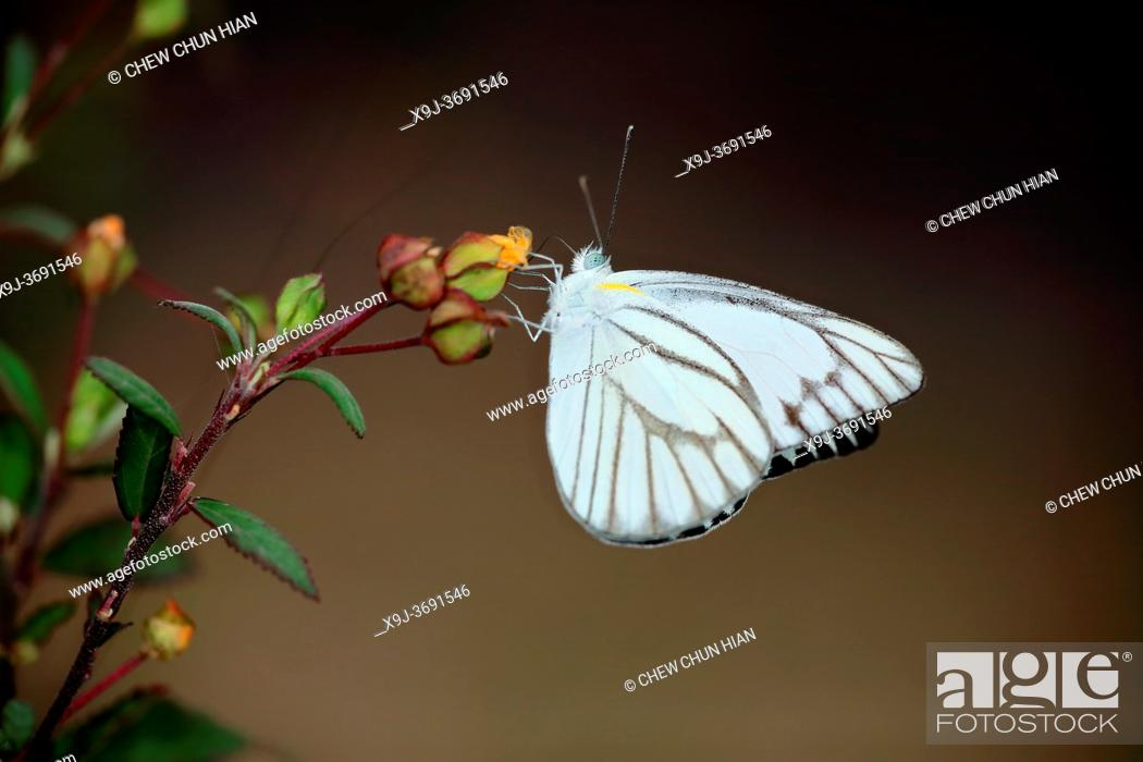 Stock Photo: Appias libythea, the striped albatross, a smallbutterfly of the family pieridae, asia.