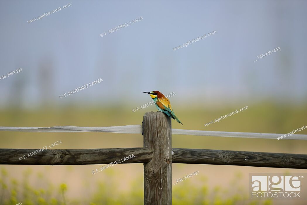Stock Photo: European bee-eater Merops apiaster Photographed at the Southwest Regional Park Madrid.