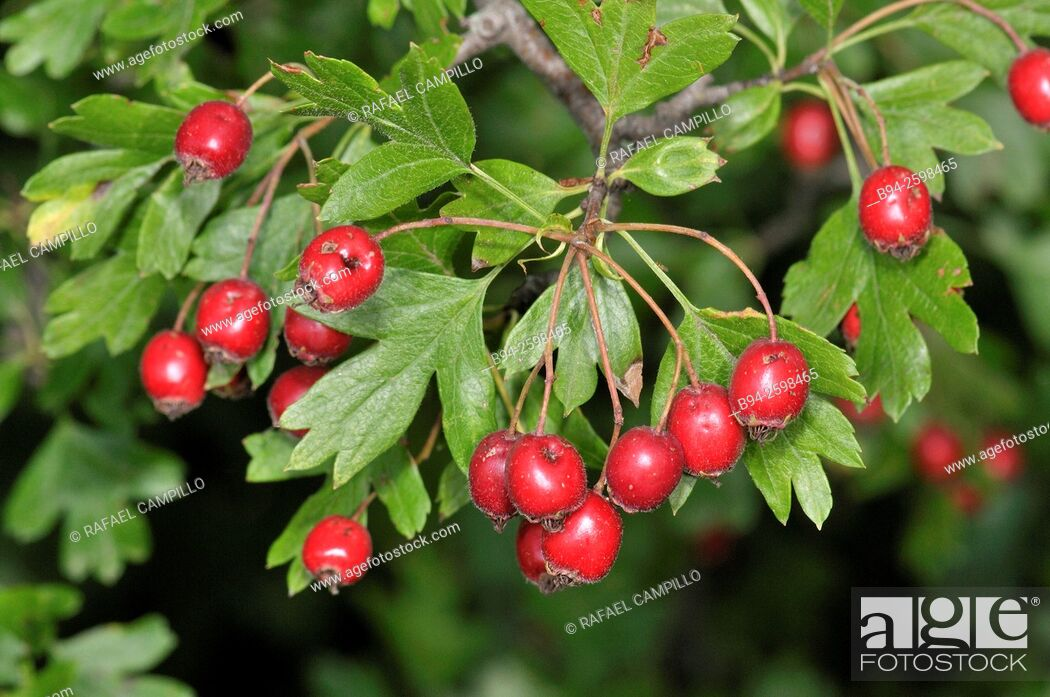 Stock Photo: Crataegus monogyna Jacq, in fruit, known as common hawthorn or single-seeded hawthorn, a species of hawthorn native to Europe, northwest Africa and western Asia.