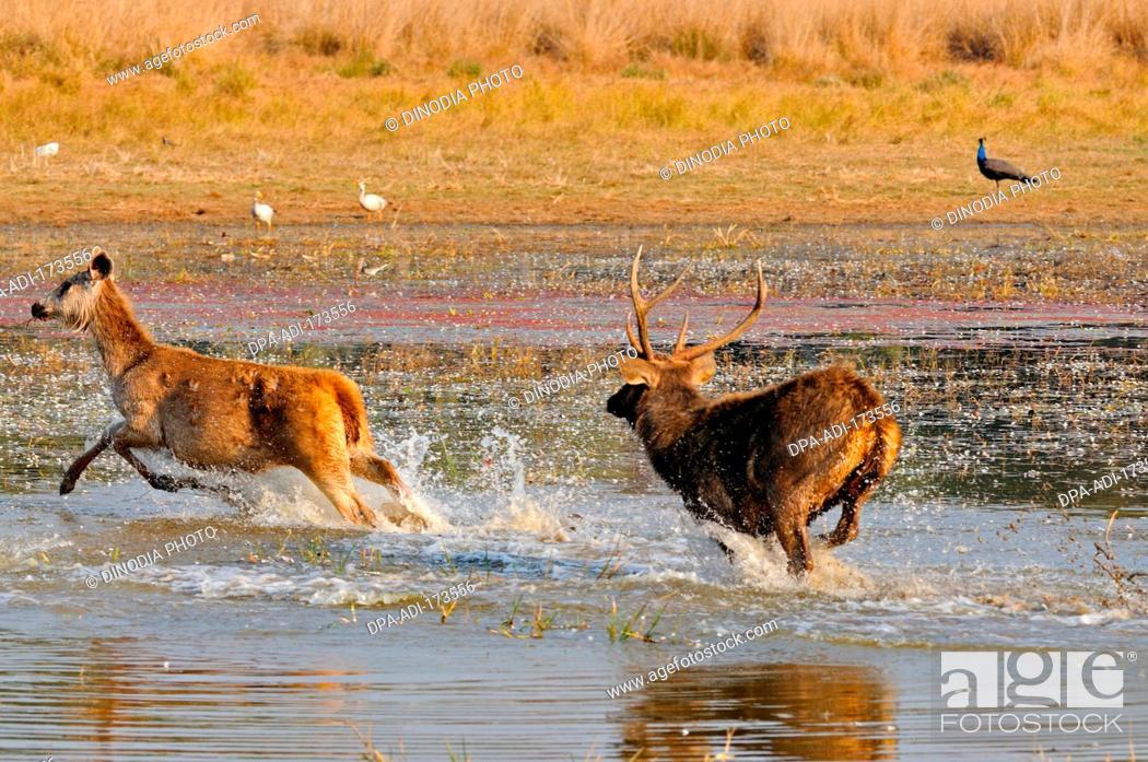 Stock Photo: Sambar deer cervus unicolor niger running in lake , Ranthambore national park , Rajasthan , India.