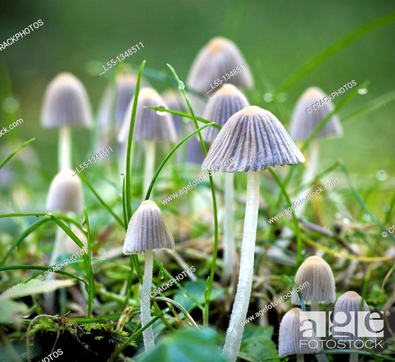 Stock Photo: Coprinus disseminatus.
