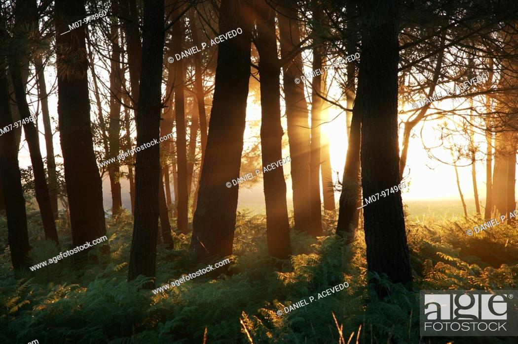 Stock Photo: Pine tree forest at dawn in Galicia, towards Finisterre, Santiago Way, Camino de Santiago. Spain, Europe.
