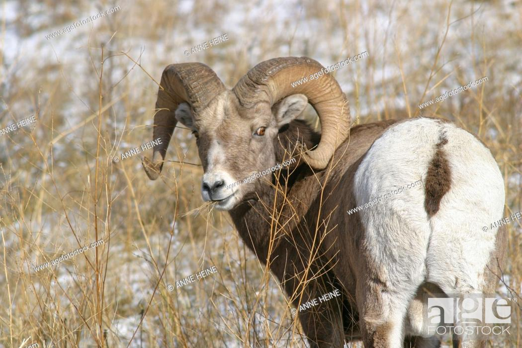 Stock Photo: Rocky mountain bighorn sheep, Alberta, Canada.