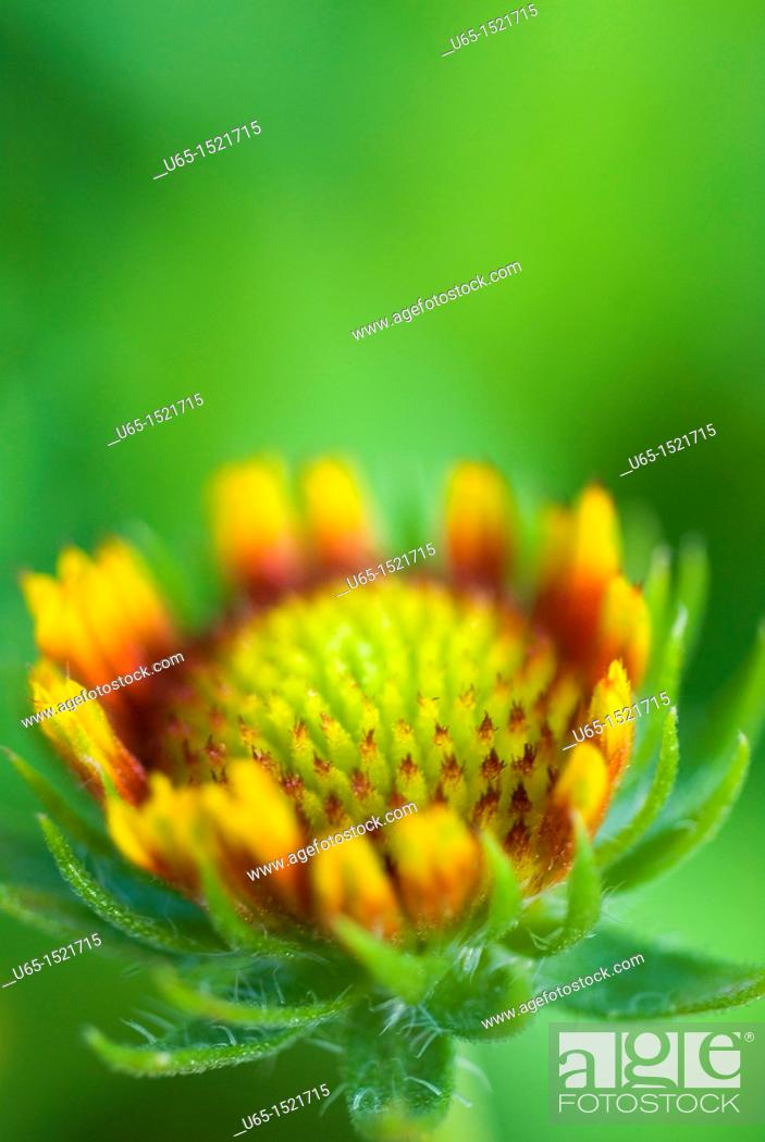 Stock Photo: Flower in Fort Collins, Colorado, USA.