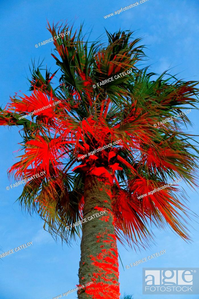 Stock Photo: Qatar - Sealine coast - Palm tree illuminated by a red light in the Sealine Beach Resort between dunes and sea.