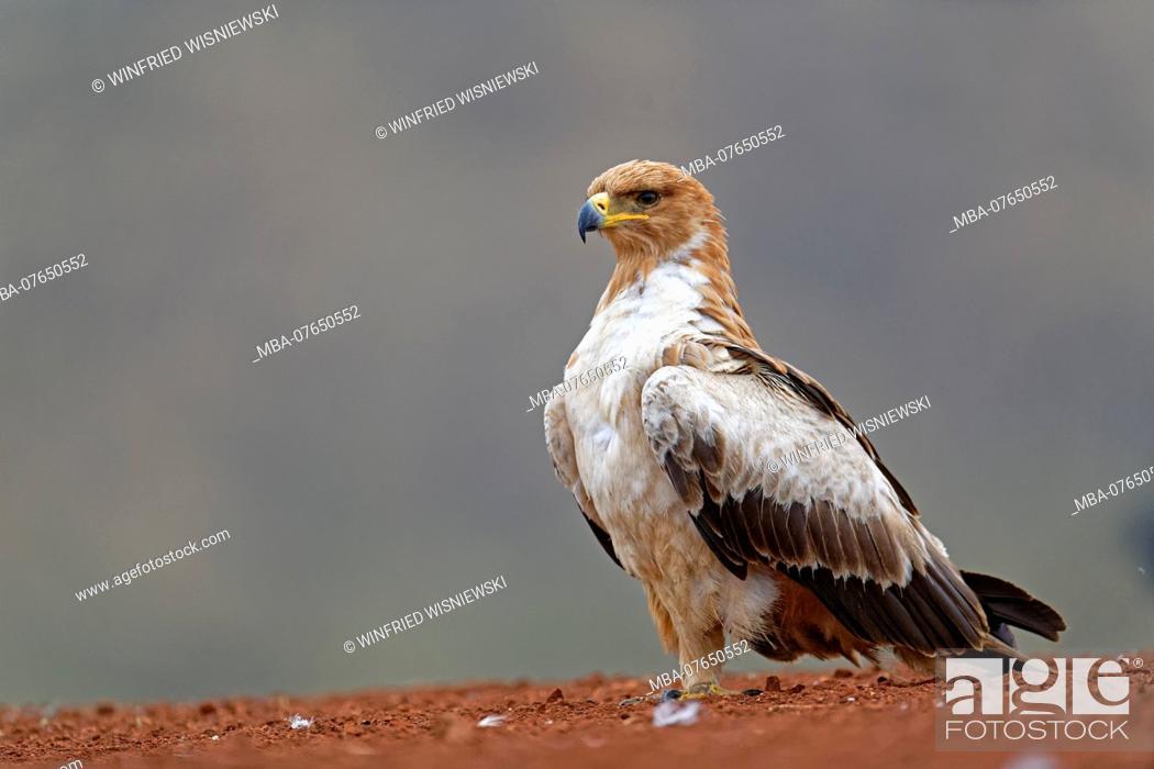 Stock Photo: Tawny eagle, very bright phase, on the ground, Kwazulu-Natal, South Africa.