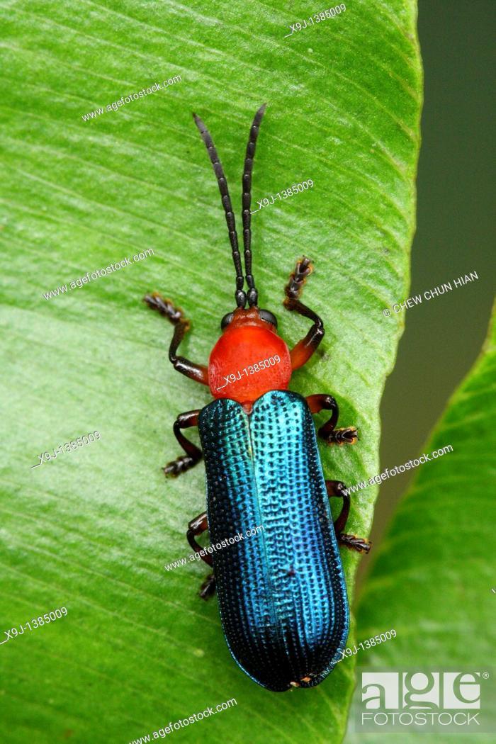 Stock Photo: Greater caterpillar hunter Calosoma sycophanta.