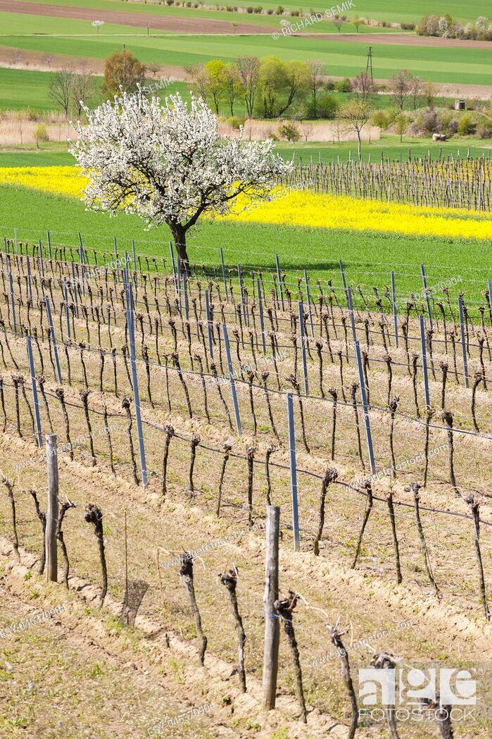 Stock Photo: spring vineyard near Retz, Austria.