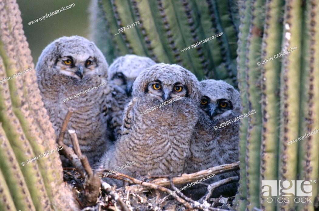 Stock Photo: Great Horned Owl (Bubo virginianus). Arizona, USA.